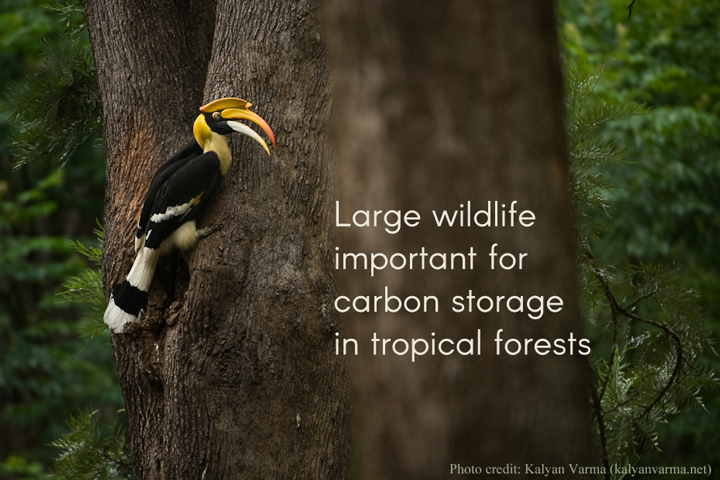 Large wildlife important for carbon storage in tropical forests