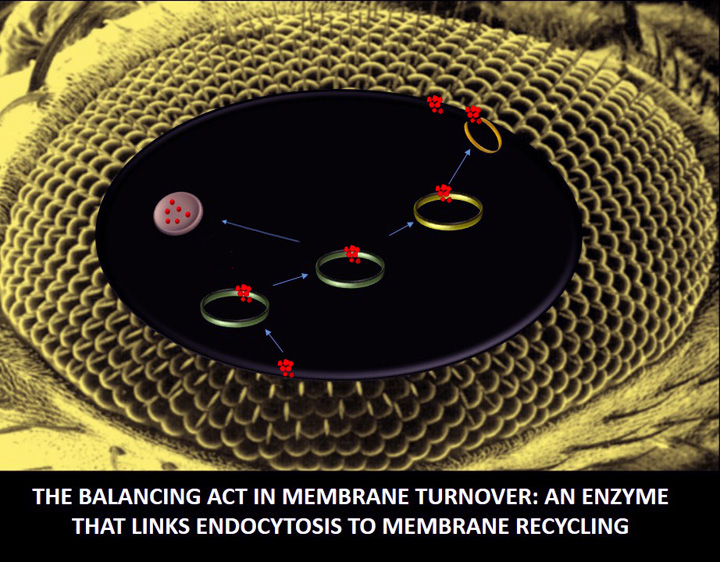 The balancing act in membrane turnover