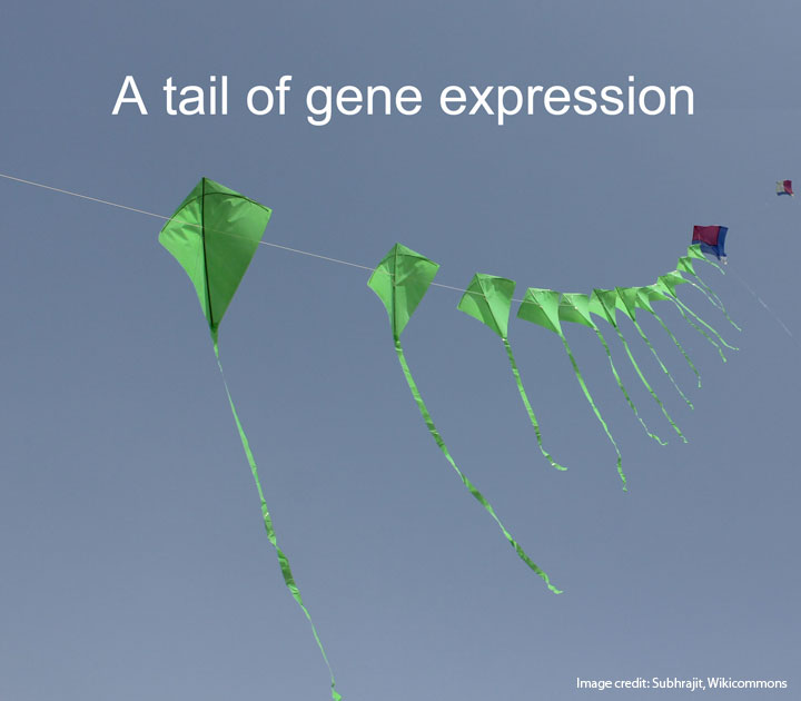 A tail of gene expression