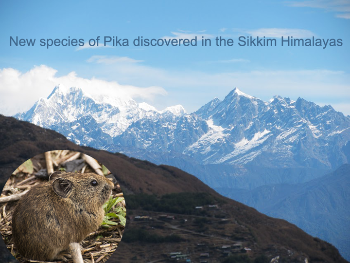New species of Pika discovered in the Sikkim Himalayas