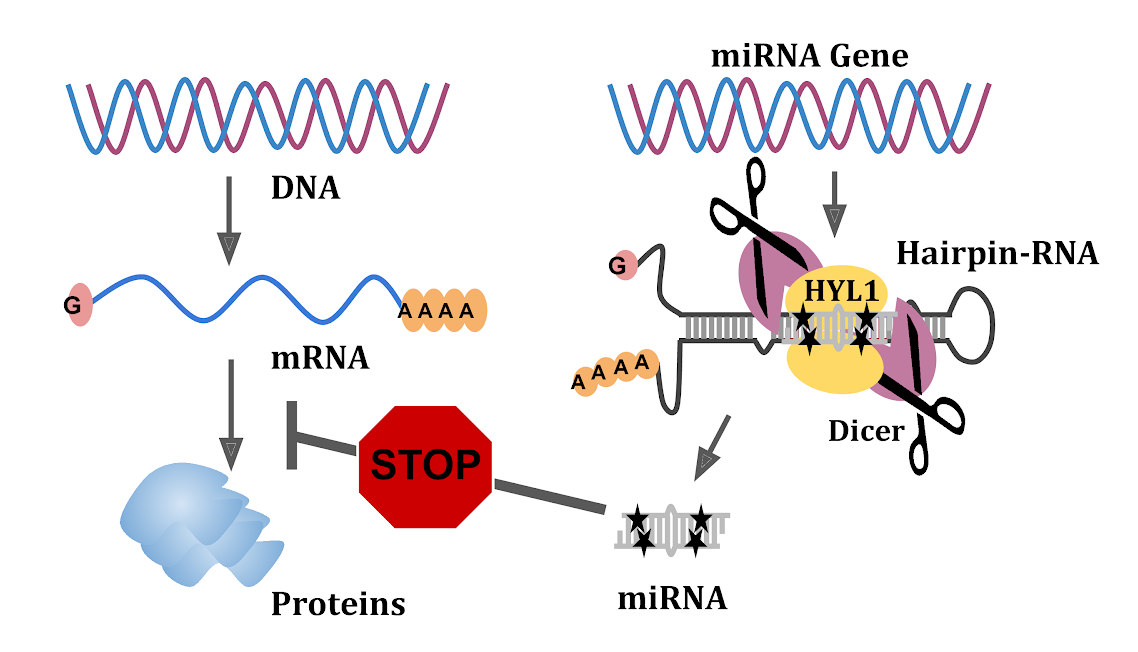 NCBS team finds how microRNA gene regulators are generated in plants
