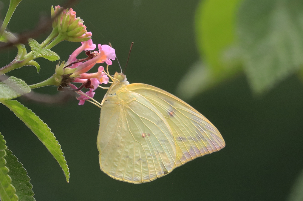 VAGABONDING FEMALE BUTTERFLIES WEIGH IN ON REPRODUCTIVE STRATEGIES