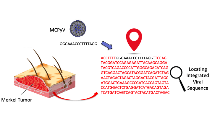 Seeking the location of MCPyV Integration in Merkel Cell Tumours