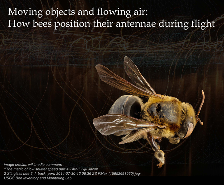 Moving objects and flowing air: How bees position their antennae during flight