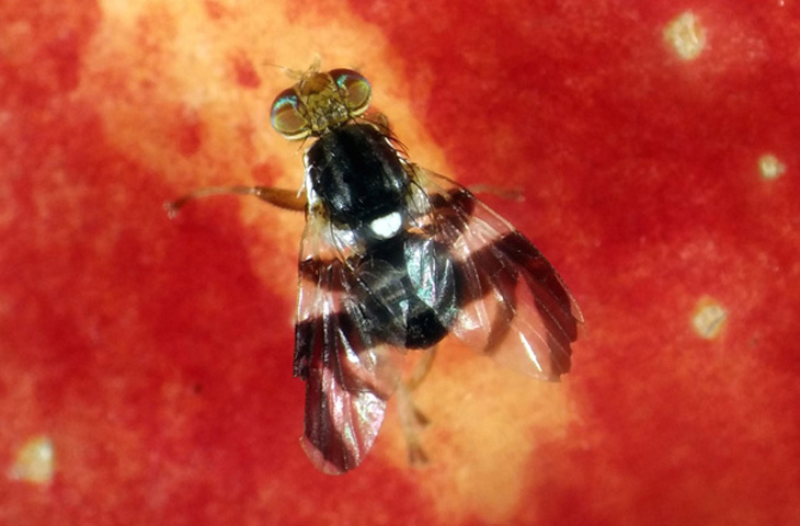 The rise of the apple maggot fly – how an altered sense of smell could drive the formation of new species