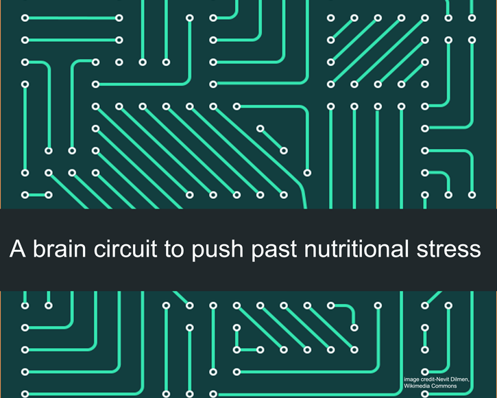 A brain circuit to push past nutritional stress