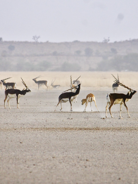 The scent of a man: what odors do female blackbuck find enticing in a male?