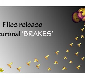 Flies release neuronal brakes to fly longer