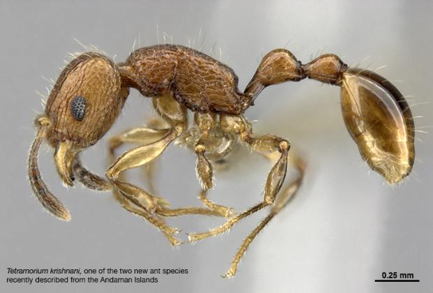 Biodiversity exploration and discovery: two ant species new to science described from the Andaman Islands